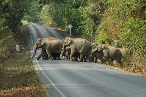 Wild elephants you can see while trekking in Khao Yai National Park