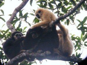 Gibbons seen while trekking in Khao Yai National Park