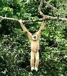 Gibbon seen while trekking in Khao Yai National Park