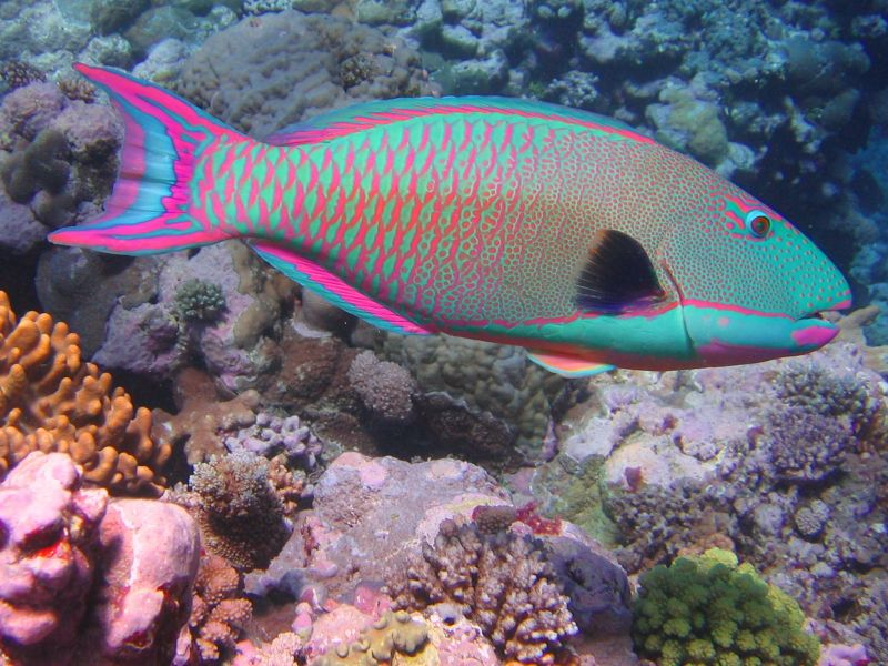 Parrotfish with coral reef