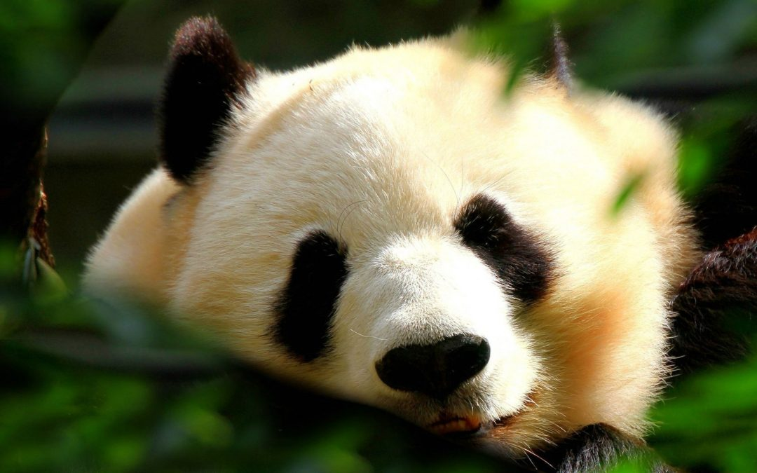 Panda Mania in Asia